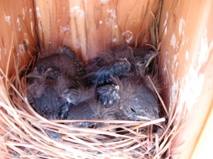 Last peek at near fledgling Bluebirds